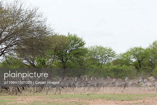 Zebras running on field at Serengeti National Park against clear sky - p1166m1521325 by Cavan Images