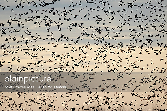 Hundreds of blackbirds fill the sky - p1480m2148230 by Brian W. Downs