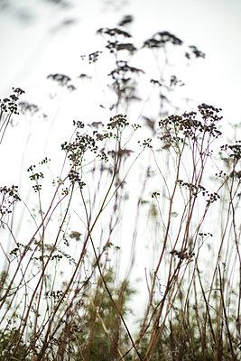 Yarrow in the meadow - p1643m2229397 by janice mersiovsky
