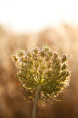 Umbel in the backlight - p533m1055298 by Böhm Monika