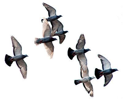 Flying pigeons - p8960356 by Vincent van den Hoogen