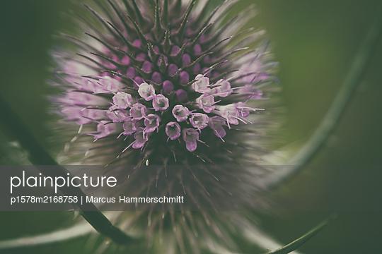 Blütenstand einer Distel - p1578m2168758 von Marcus Hammerschmitt