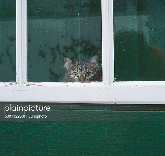 Tabby cat looking through a window