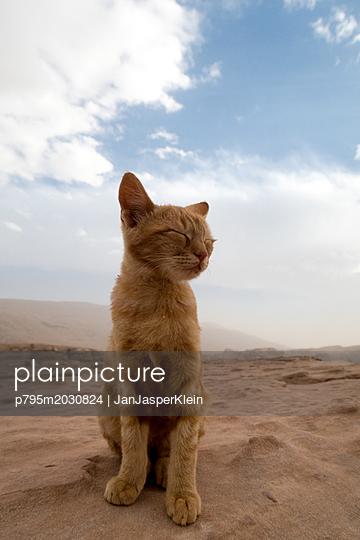 Wildkatze in den Bergen Jordaniens - p795m2030824 von Janklein