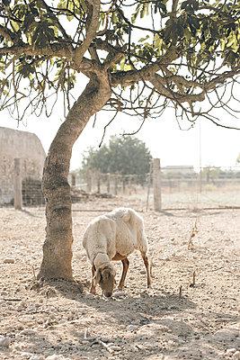 Schaf auf Mallorca - p1179m984449 von johannes pöttgens