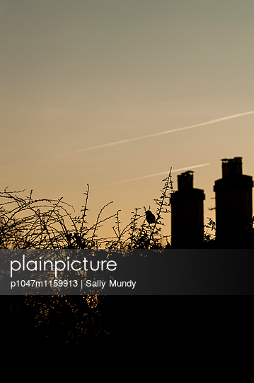 Sparrow sitting in a hedgerow in front of chimneys - p1047m1159913 by Sally Mundy