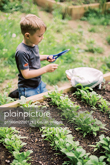 Little boy harvesting the spinach in the family garden - p1166m2200121 by Cavan Images