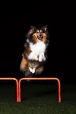 Shetland Sheepdog jumping over hurdle at night - p300m979061f by Stefan Schurr