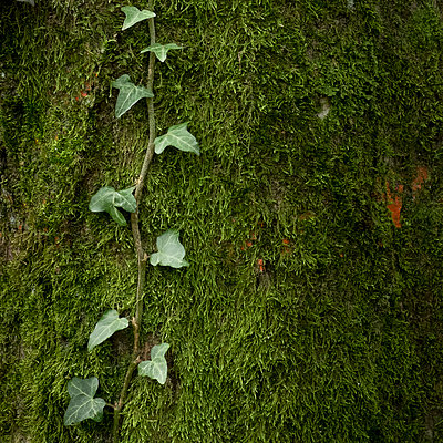 Ivy growing on moss - p312m1103672f by Benny Karlsson