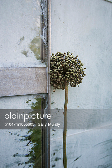 Allium leaning against a greenhouse - p1047m1055605 by Sally Mundy