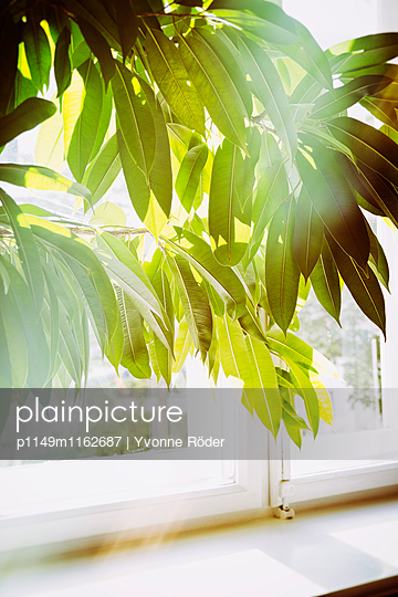 Zimmerpflanze im Morgenlicht - p1149m1162687 von Yvonne Röder