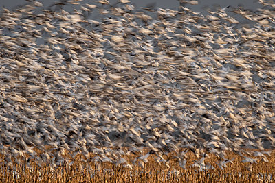 Thousands of Snow Geese blast off from a field - p1480m2148236 by Brian W. Downs
