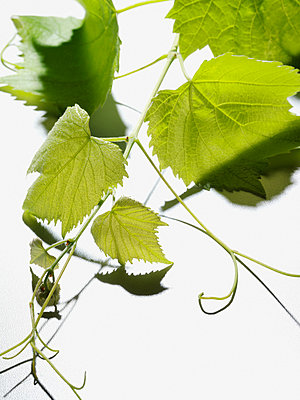 Vine leaves - p9247595f by Image Source