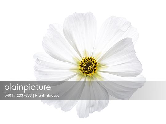 Schmuckkörbchenblüte - p401m2037636 von Frank Baquet