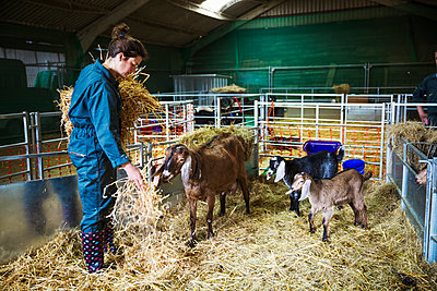 Woman in a stable with goats, scattering straw on the floor. - p1100m1177811 by Mint Images