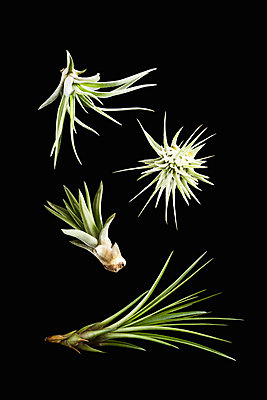 Air plant, Tillandsia - p1149m1516095 by Yvonne Röder
