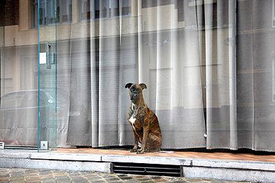 Dog in shop window - p1193m1006895 by Elodie Ledure
