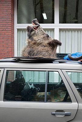 Wildschweinkopf auf Autodach - p250m702399 von Christian Diehl