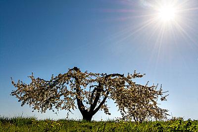 Apple tree in France - p813m1424597 by B.Jaubert