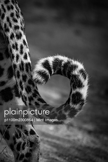 The tail of a leopard, Panthera pardus - p1100m2300864 by Mint Images