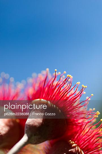 Australien, Eucalyptus Flower - p628m2238088 by Franco Cozzo