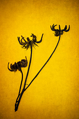 Dried marigold seedheads on warm yellow background - p1047m2134850 by Sally Mundy