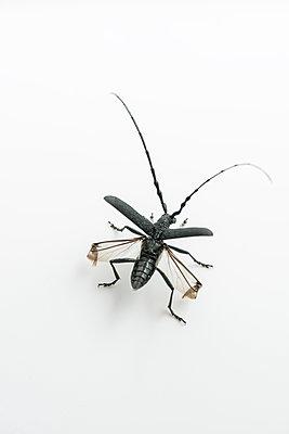 Longhorn beetle, Cerambycidae - p1437m2057062 by Achim Bunz