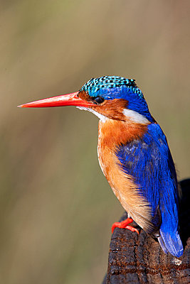 Malachite kingfisher - p9242736f by Image Source