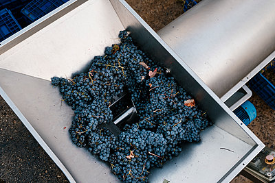 Bunch of fresh grapes in crushing machinery at winery - p300m2225919 by Ezequiel Giménez