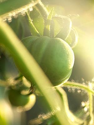 Unreife Tomate - p922m2071511 von Juliette Chretien
