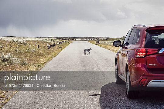 Full braking for a lamb on the street - p1573m2178931 by Christian Bendel