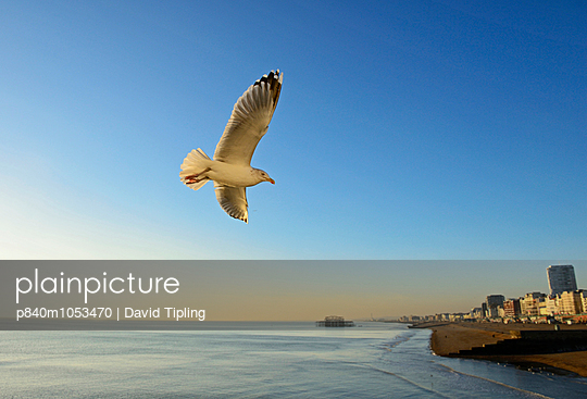Herring Gull  flying over  Brighton sea front at dusk, Sussex, England, UK, December. - p840m1053470 by David Tipling