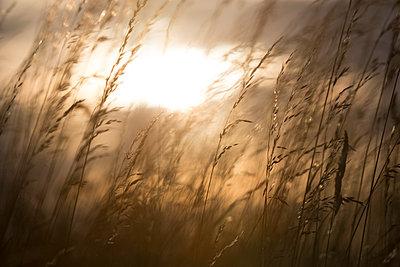 Gräser im Sonnenuntergang - p1057m1045053 von Stephen Shepherd