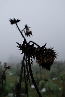 Vertrocknete Sonnenblumen - p1229m2231777 von noa-mar