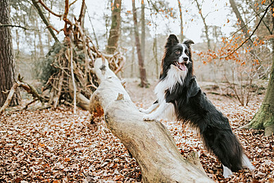 Border Collie standing on trunk in the forest - p300m2102685 by Frederik Franz