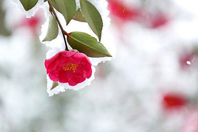 Christmas Camellia - p307m1011980f by Tetsuya Tanooka
