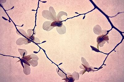 Magnolia - p577m954644 by Mihaela Ninic
