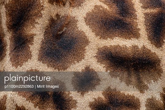 The skin of a giraffe, Giraffa camelopardalis giraffa - p1100m2292863 by Mint Images