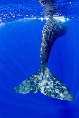 Tail fluke of a Sperm whale underwater. - p1100m1544354 by Mint Images