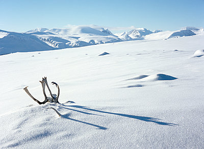 Antler in the snow - p575m1074744f by Fredrik Ludvigsson