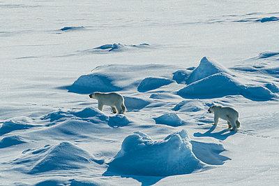 Polar bear cubs(Ursus maritimus) in the high arctic near the North Pole, Arctic, Russia - p871m2069018 by Michael Runkel