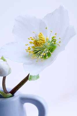 Hellebore blossom - p3100367 by Astrid Doerenbruch
