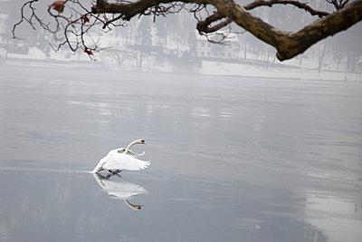 Swan - p631m913078 by Franck Beloncle