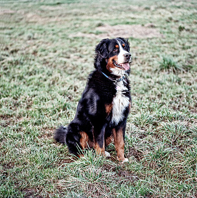 Bernese mountain dog - p545m1071864 by Ulf Philipowski