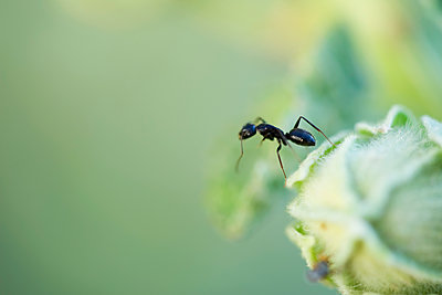 Argentine ant standing upright on edge of flower bud - p624m1487360 by Odilon Dimier