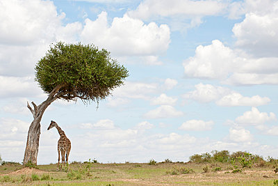 Giraffe under tree - p5330243 by Böhm Monika