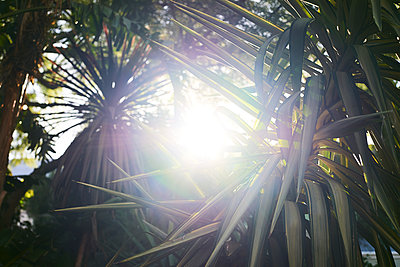 Sunbeams shine sthrough agave leaves - p1640m2246088 by Holly & John