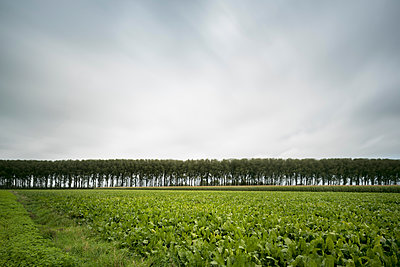 Row of trees along Leopold Canal, Damme, West Flanders, Belgium - p429m1504814 by Mischa Keijser