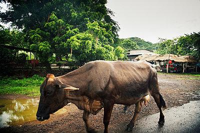 Kuh, Nicaragua - p844m880774 von Markus Renner