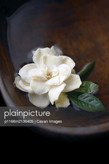 Gardenia flower floating in bowl of water - p1166m2136405 by Cavan Images